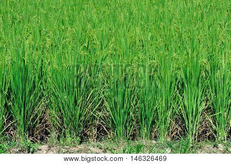 Beautiful green rice paddy field. Rice terrace thailand
