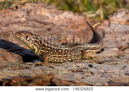 Sand lizard side view in the sun