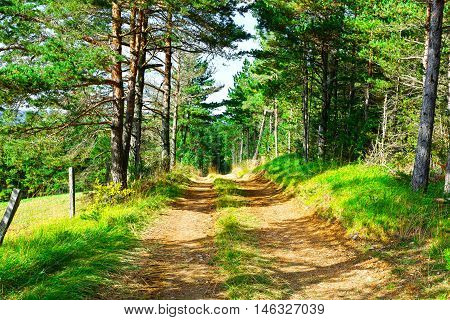 Dirt Road in Coniferous Forest in the French Alps