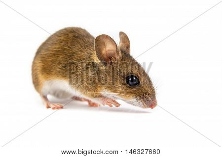 Field Mouse Watching In Camera