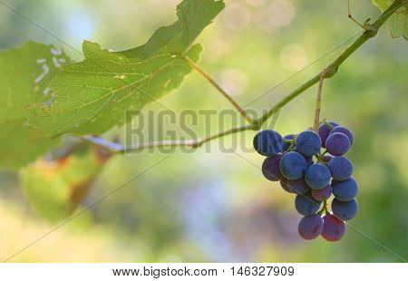 Bunches of red wine grapes at wine fields