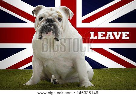 Portrait of British Bulldog sitting in front of Union Jack