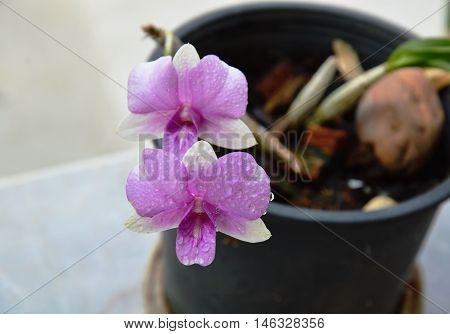 purple orchid blooming in plastic black flowerpot