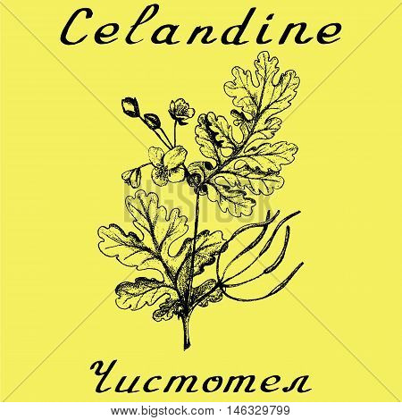 Greater celandine hand drawn sketch botanical illustration. Vector illustation. Medical herbs. Lettering in English and Russian languages