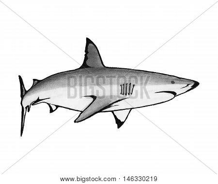 Shark Hand drawn illustration killer fish ocean Marin life