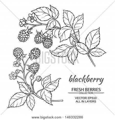 blackberry plant vector set on white background
