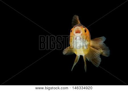 gold fish  , isolate on black background