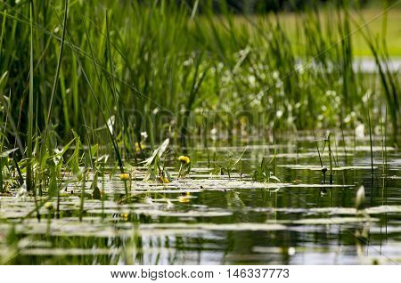 Over a river smooth surface the water-lily