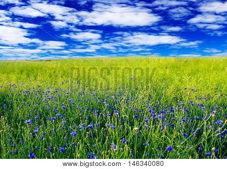 Blue Field with cornflowers and blue sky.