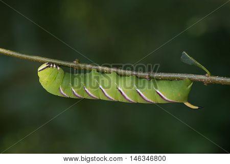 big green hawk moth - sphinx ligustri on a ligustrum twig host plant