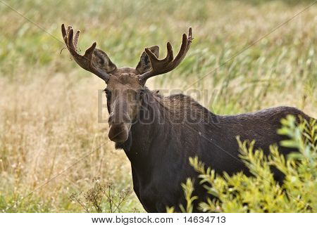 Bull Moose  Close Up