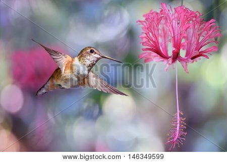 Hummingbird hover in mid-air in the garden