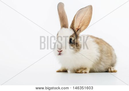 Little rabbit hare cute fluffy bunny domestic animal pet isolated on white background
