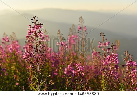 Purple And Pink Lupine Flowers In The Mountains At Sunset