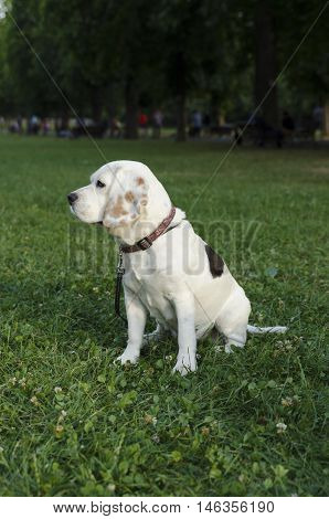 Beagle sneaking in a city park alone