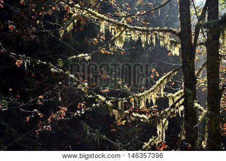 Usnea Barbata, Old Man's Beard Hanging On A Fir Tree Branch