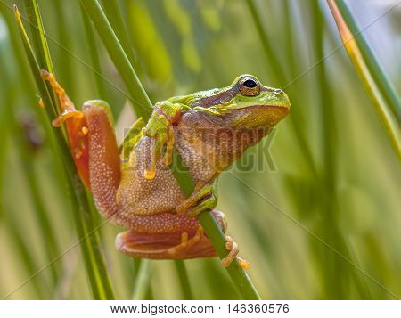 Green European Tree Frog Preparing For A Leap