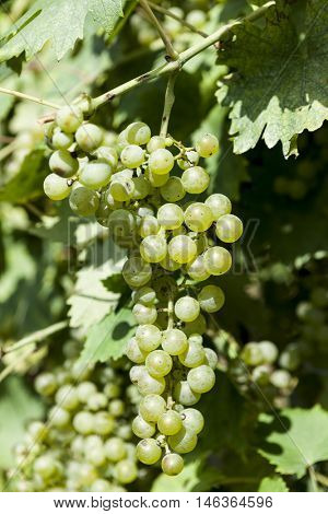 Close-up of a bunch of white grapes. Vineyards sunny day with white ripe clusters of grapes. Italy Lake Garda