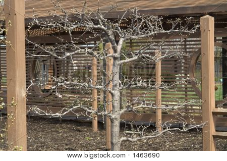 Apple Tree On A Trellis