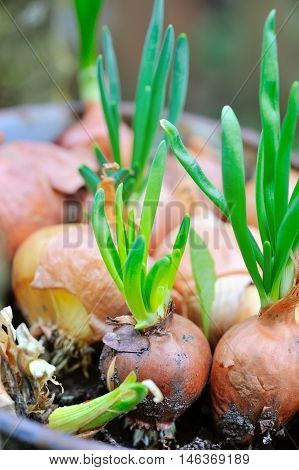 Sprouting onions. Onion young green arrow. Closeup