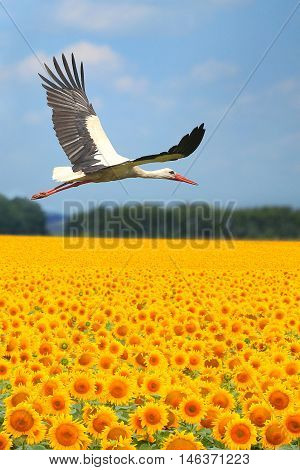 the a stork fly over a sunflower field