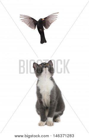 kitten and turdus merula on a white background
