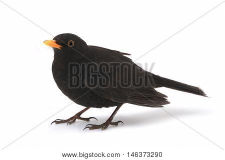 turdus merula - blackbird isolated on white background