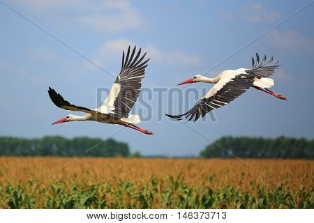 The a two storks fly over a field