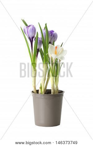 purple crocuses on a white background, studio shot