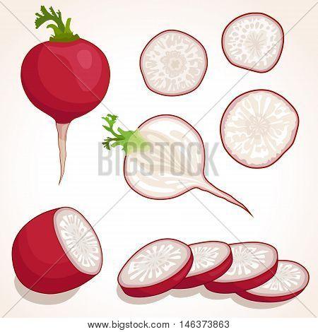 Set of radish. Sliced whole radish. Vector illustration. Pieces and half of radishes.