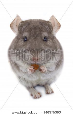 chinchilla eats an izyumn a white background