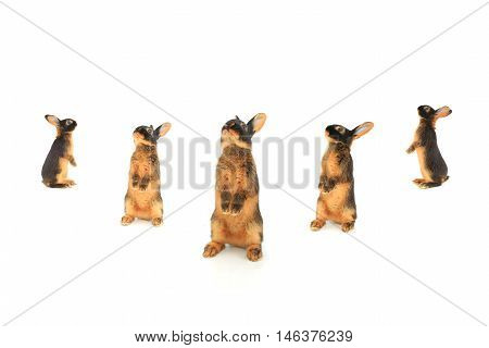 rabbits costs on hinder legs, isolated on white, studio shot