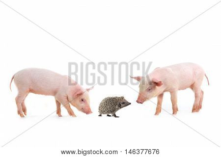 pig and hedgehog on a white background. studio