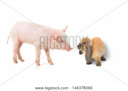 rabbit and pig on a white background. studio