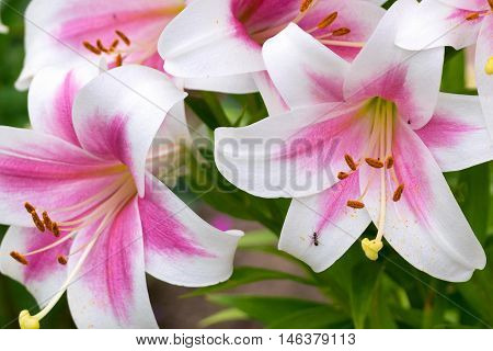 bouquet of flowers of a lily closeup with petals of white and pink color and a little ant creeps on one petal of a flower