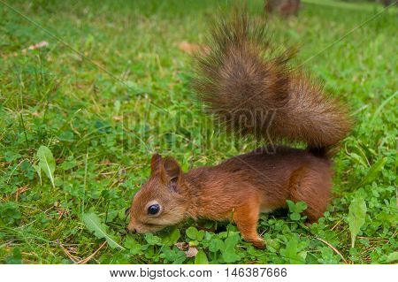 red squirrel with a bushy tail on the green grass