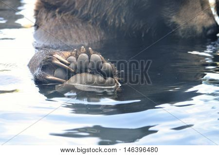 A Russian grizzly bear in the water