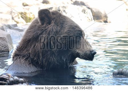 A Russian grizzly bear swimming in the water