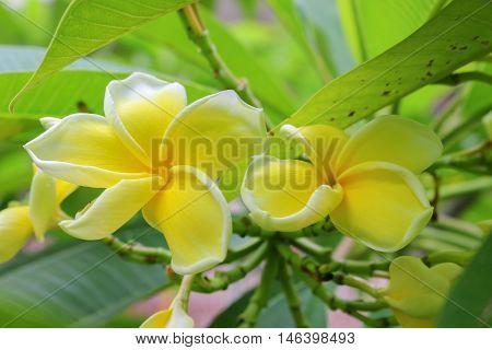Plumeria flower Desert Rose. beautiful yellow  Plumeria on the tree. or Impala Lily flower. ( Common name Apocynaceae Frangipani Pagoda tree Temple tree )