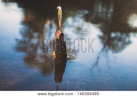 Fish on a hook with an open mouth comes out of the water. Beautiful photos of fishing with copy space