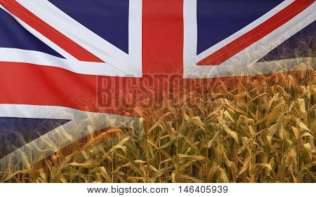 Nutrition food concept corn field in sunny afternoon light merged with fabric flag of Great Britain