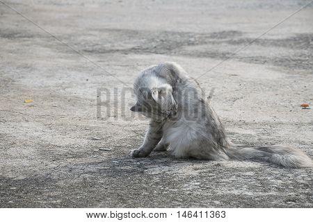 white cat scratching fleas on concrete floor.