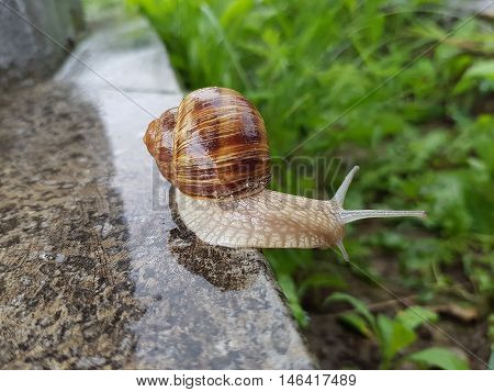 Snail Exploring The Environment After A Fresh Summer Rain
