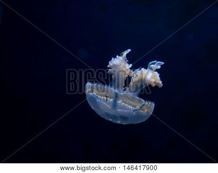Jelly fish gracefully floating along dark waters.