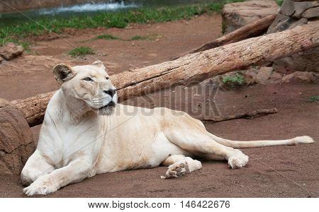 Portrait Of White Lioness