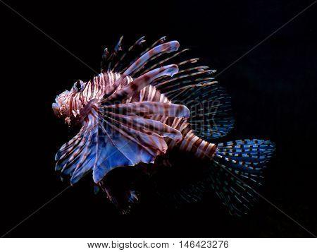 Lionfish swimming in dark waters, dark background.