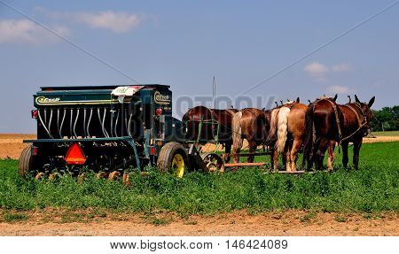 Lancaster County Pennsylvania - June 8 2015: A team of four donkeys pulling a farm machine in a field of summer produce on an Amish farm