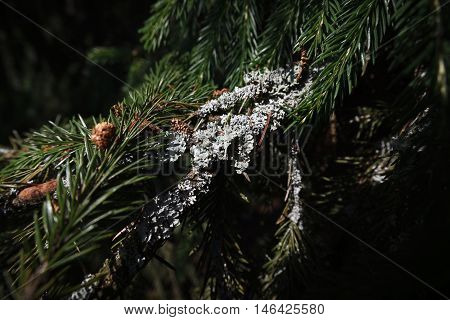 Gray lichen on the green spruce branch