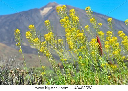 Yellow Flowers Against  Peack Of Teide