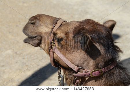 Face of a camel wearing a harness